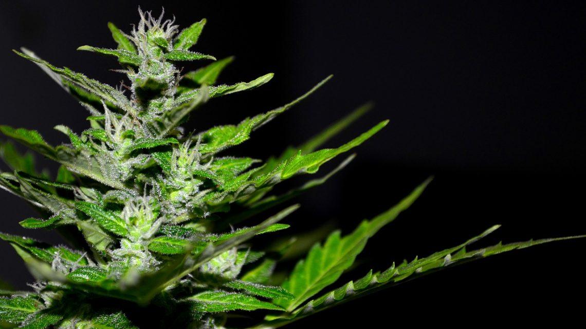Zoom sur le cannabis, sa consommation et les effets indésirables