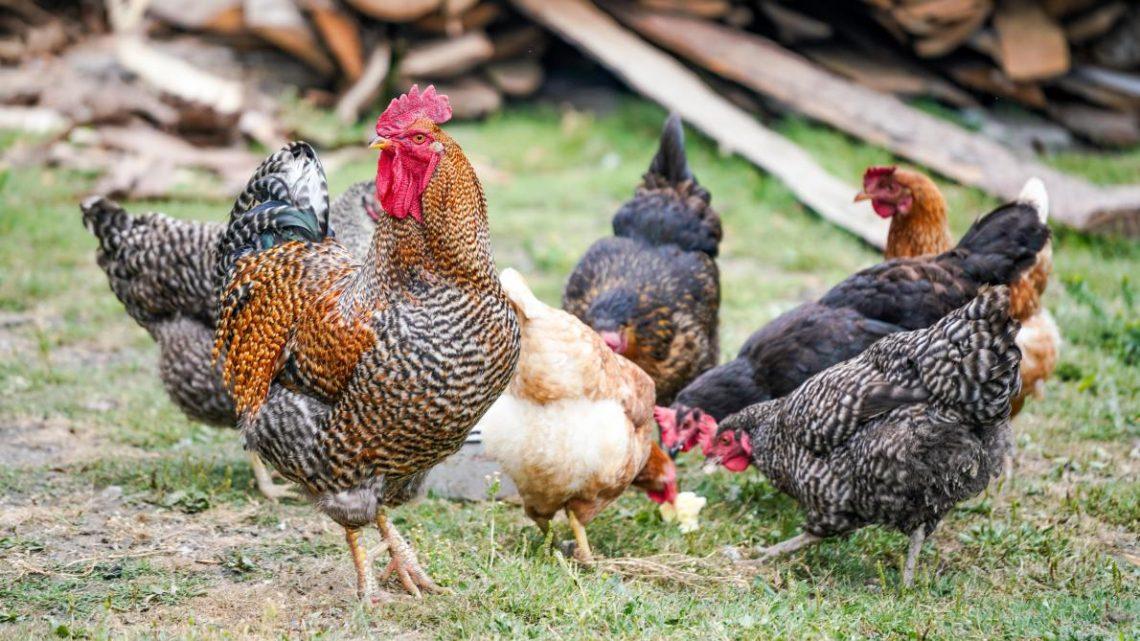 Tout savoir sur l'Elevage de Poulet en Roumanie